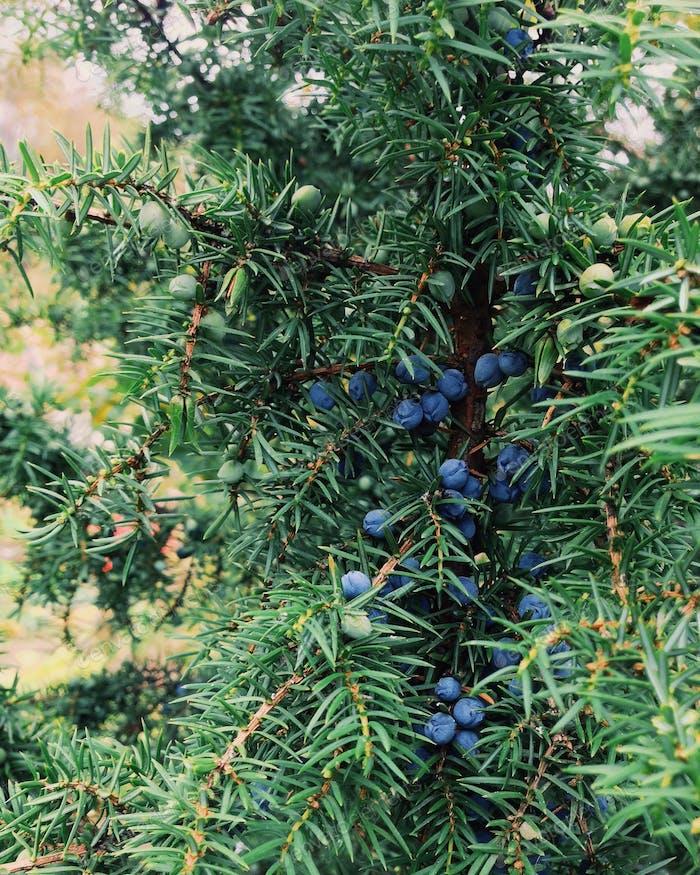Juniper needles and berries