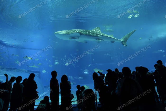 Whale shark in the aquarium with tourists