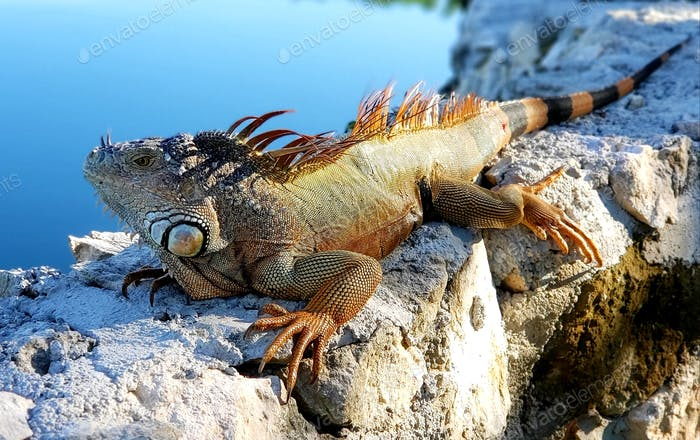 Nature, animal, wild animal, lizard, iguana.