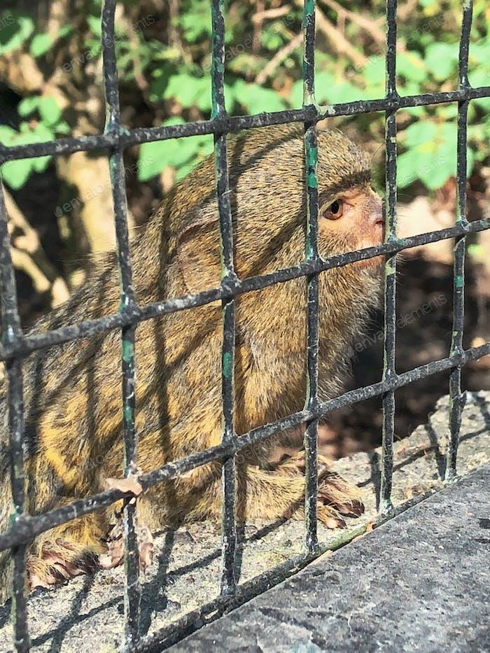 Pygmy Marmoset in a cage