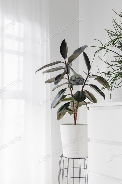Modern houseplants with Ficus plant in the living room