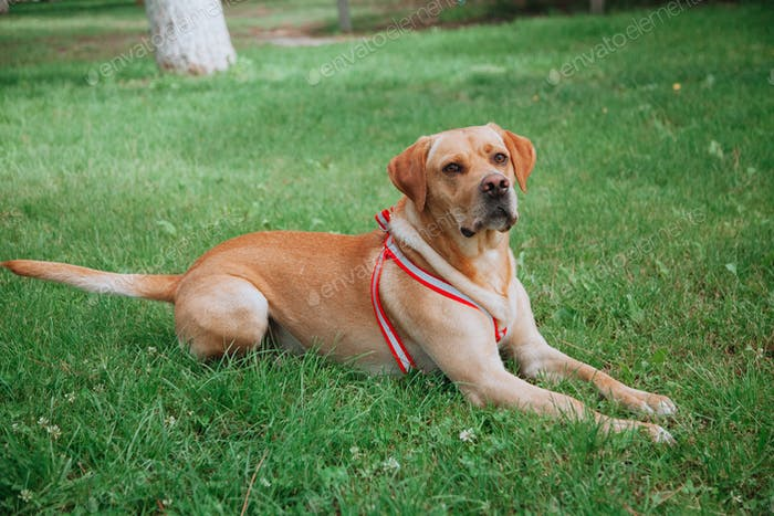 Trained Labrador pointer dog lying on the grass in the park in autumn. Having pets concept.