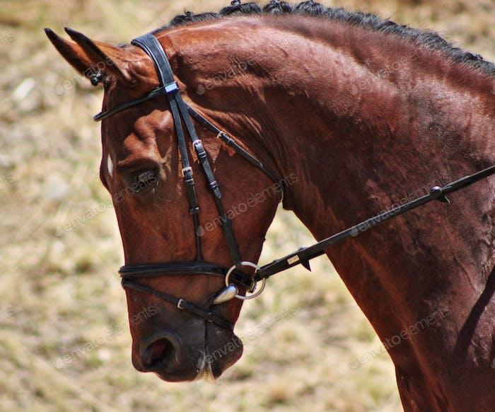 Dutch Warmblood dressage horse at a competition