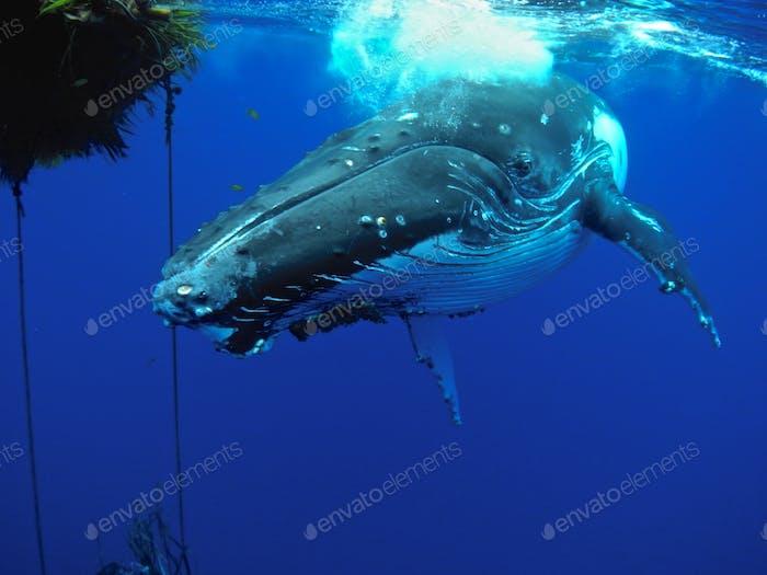 Humpback whale at Niue Island