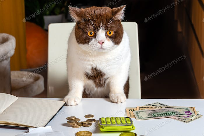cat on a chair at the table with money, calculator, notebook, fun work from home concept