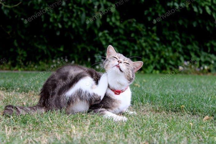 Cat scratching herself in the grass