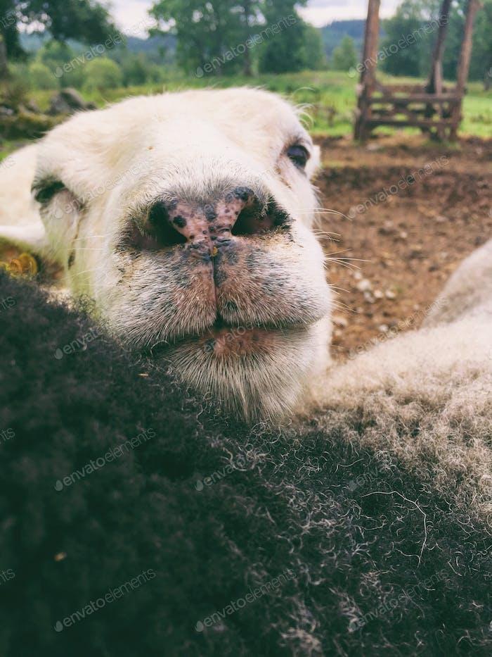Sheep nose