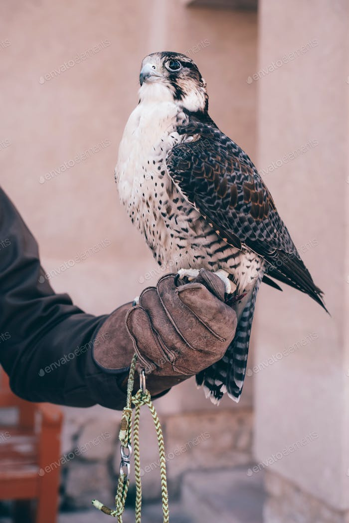 Arabic saker falcon sitting on a hand