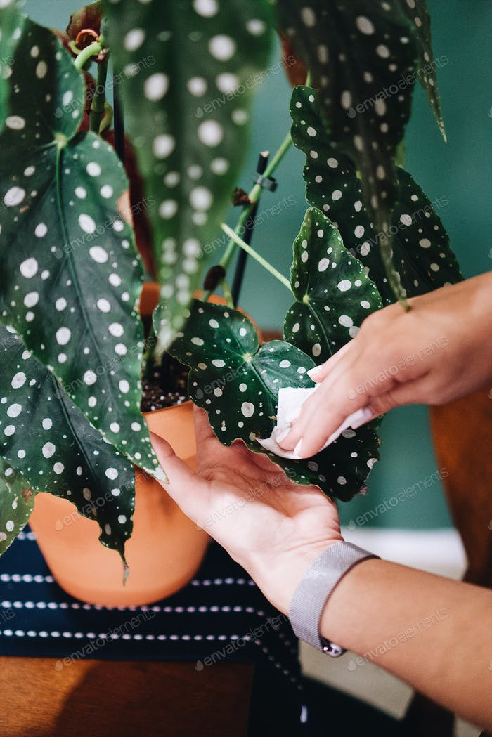 Wiping houseplant