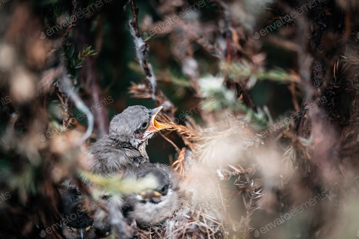 chicks in the nest wagtail starling nuthatch finch