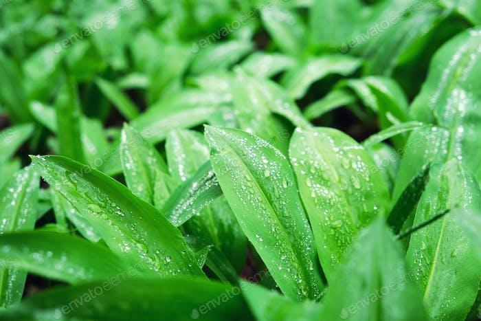 Ramsons or wild garlic leek (Allium ursinum) in the spring forest after rain. Edible herbal.