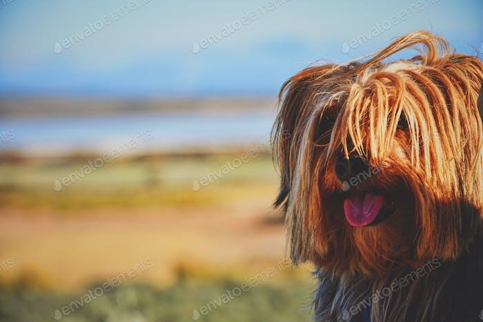 Yorkshire terrier in a sunset scene
