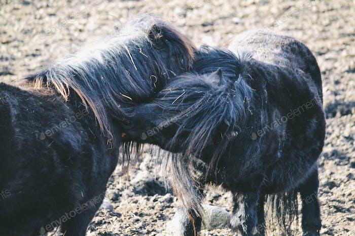 Horses scratching