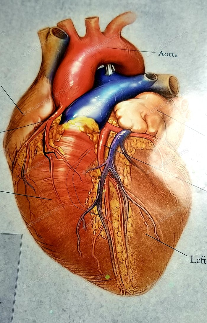 Gesundheitswesen und Medizin! Ein buntes Diagramm des menschlichen Herzens!