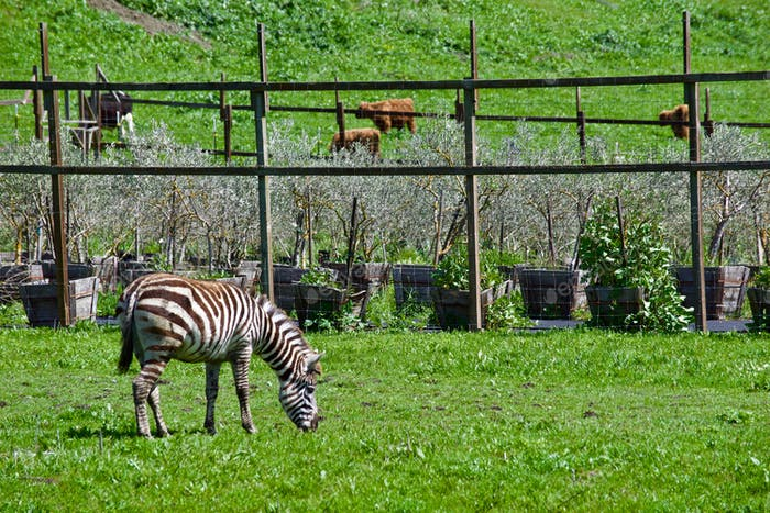 It's like seeing a UNICORN! Secret Zebra in the hills and valleys of Sonoma Mountain in California.
