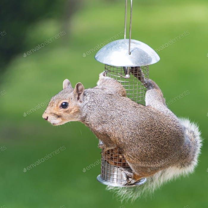 A little nut thief!