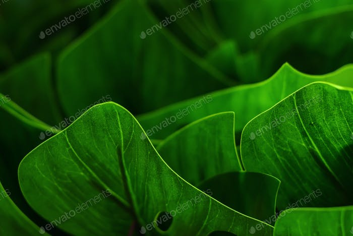Green monstera background