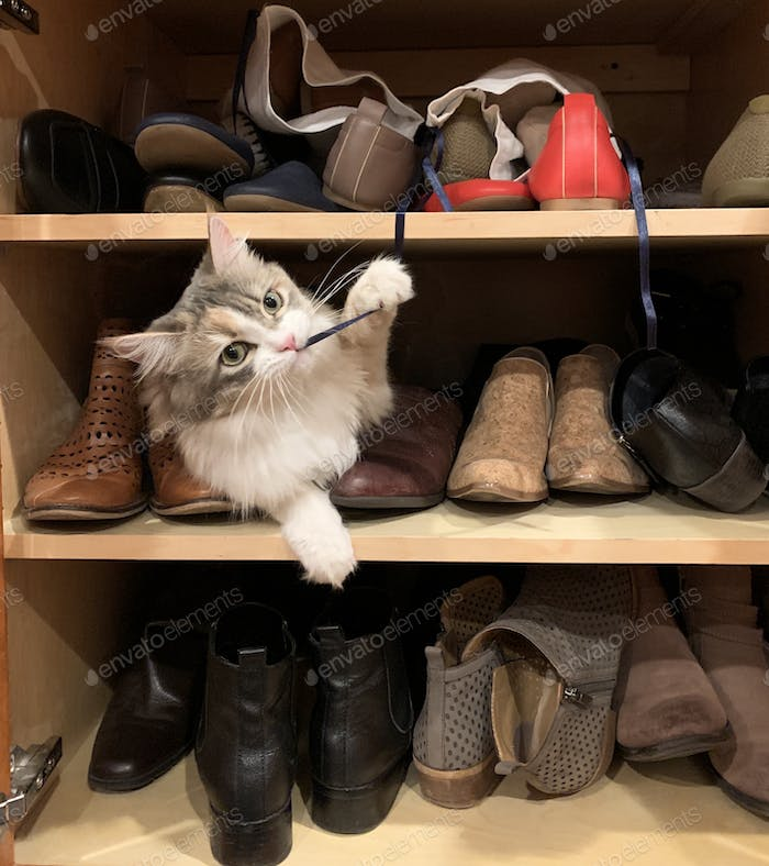 Our adorable mischievous long haired calico cat Daisy found my shoe cupboard and is chewing on my
