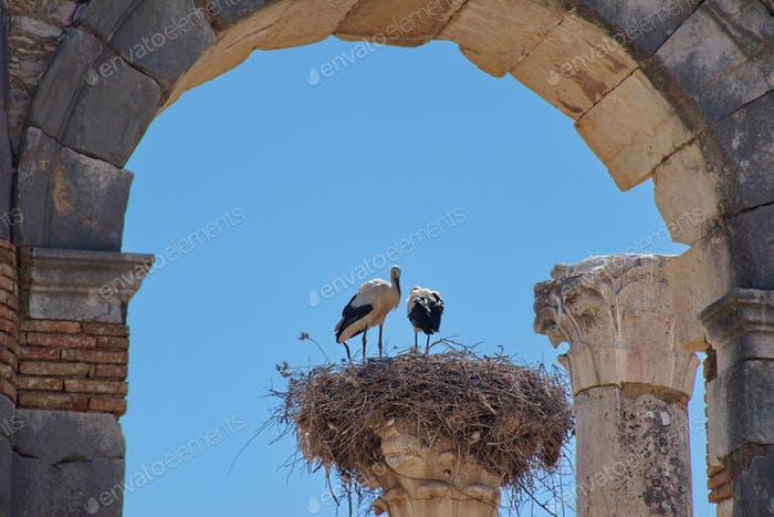 Roman excavations in Volubilis, Morocco with stork nest on the column