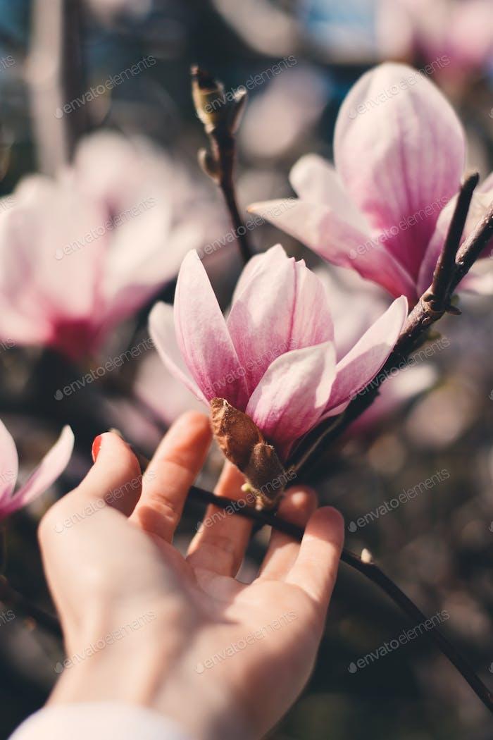Female hand and magnolia tree