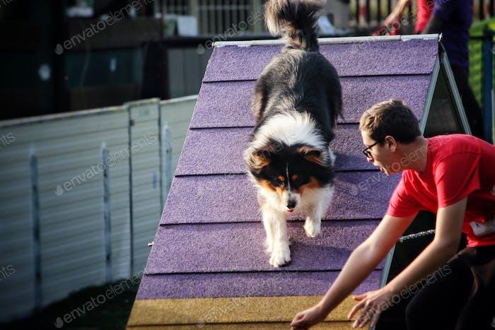 Agility dog activity