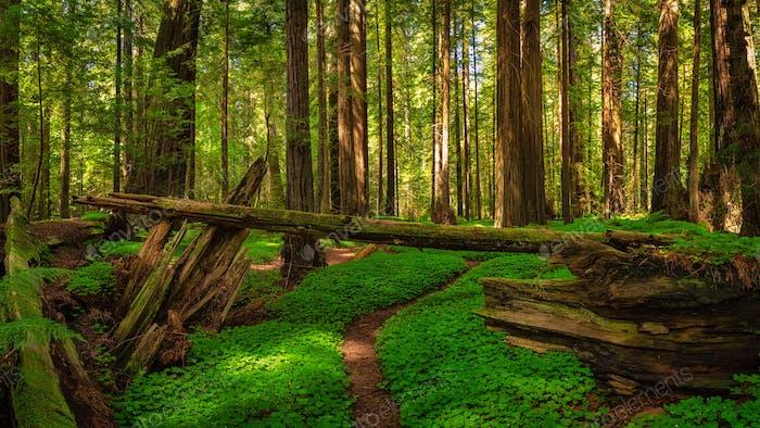 Ein Sauerampfer-Teppich in einem Redwood-Wald.