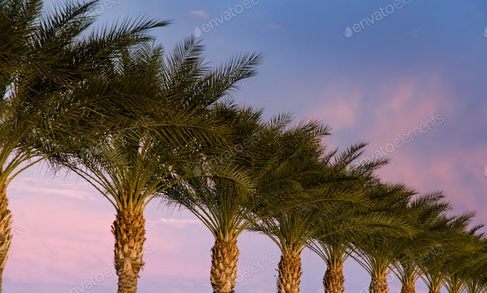 Lined up Date palms at Sunset