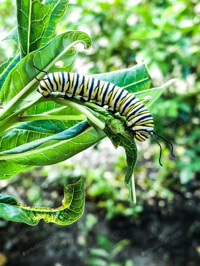 A caterpillar eating  a leaf on a milkweed plant.