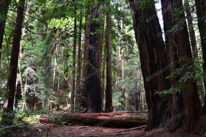 Muir Woods National Monument US-Nationalpark Service, Kalifornien Redwoods Waldmarke