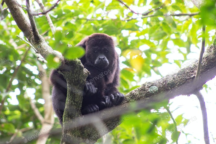 Howler Monkey in Belize jungle