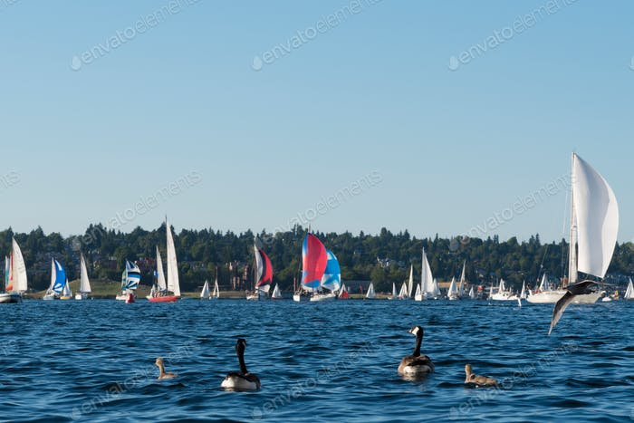 Goose family watching a sailboat regatta race on Seattle lake Union.
