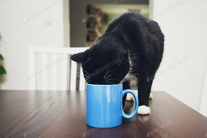 Domestic life with pets. Curious cat on the table drinking from mug.