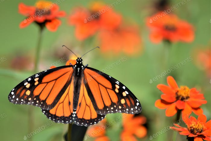 Orange monarch butterfly! Nominated 💕