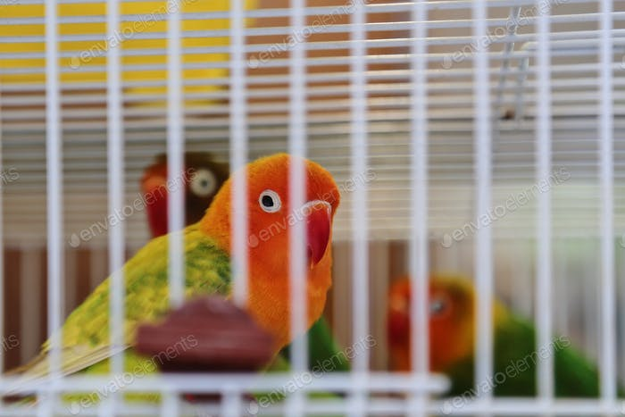 Orange and yellow bird in a birdcage