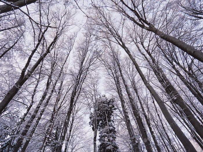Low angle view of tall trees in winter