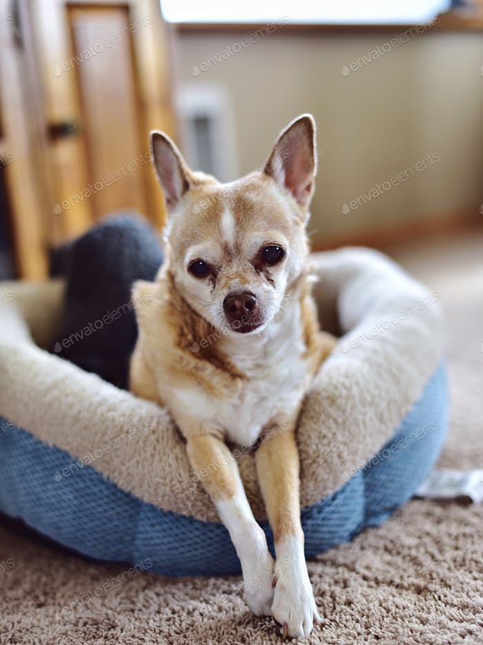 Sleepy Chihuahua in bed 🌟Nominated🌟 ✨Signature Collection✨