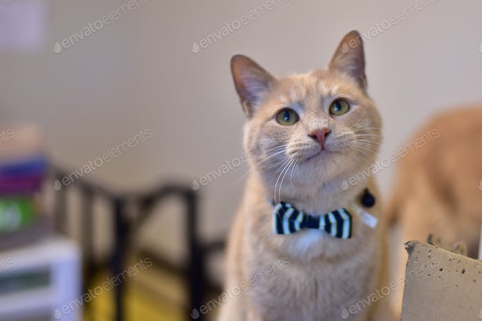 Adoptable tabby cat in a bowtie