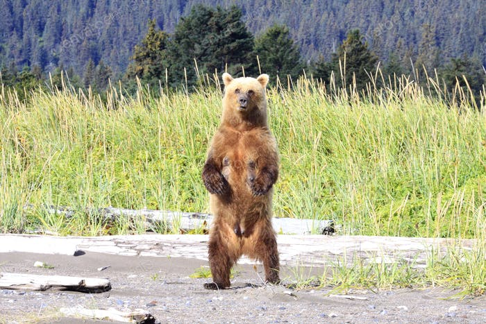 Brown Bear Sow watching her cubs