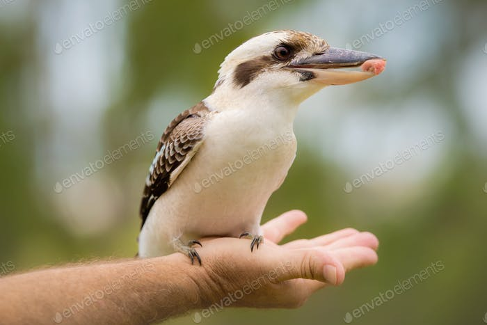 Hungry Kookaburra