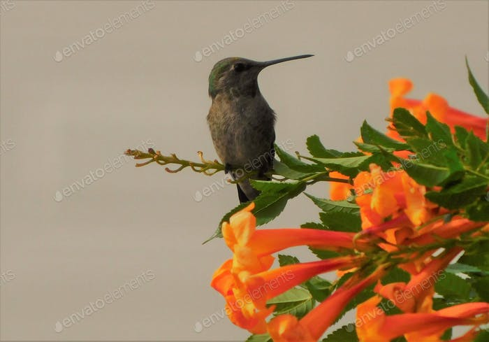 Spring Flowers Attract Hummingbirds! A desert hummingbird sits on a stem of these beautiful orange