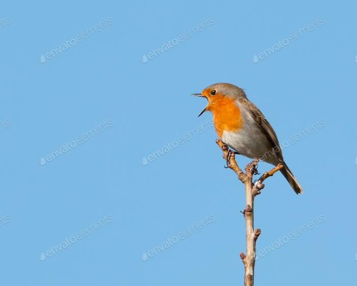 Single robin perched on a branch in a morning sunshine singing with his beak wide open and clear
