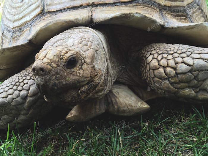 35 year old tortoise