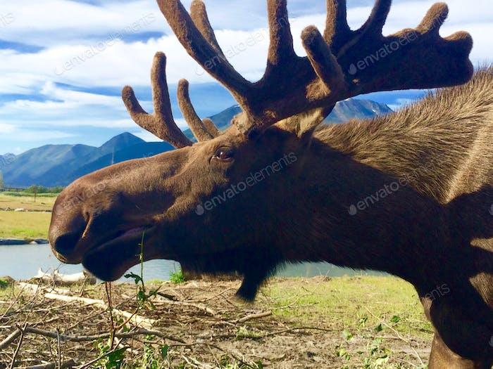 Bull Moose- Alaska