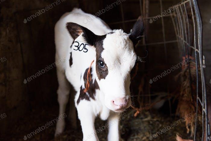 neu geborenes Holsteinkalb