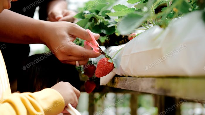 Strawberry picking at the farm