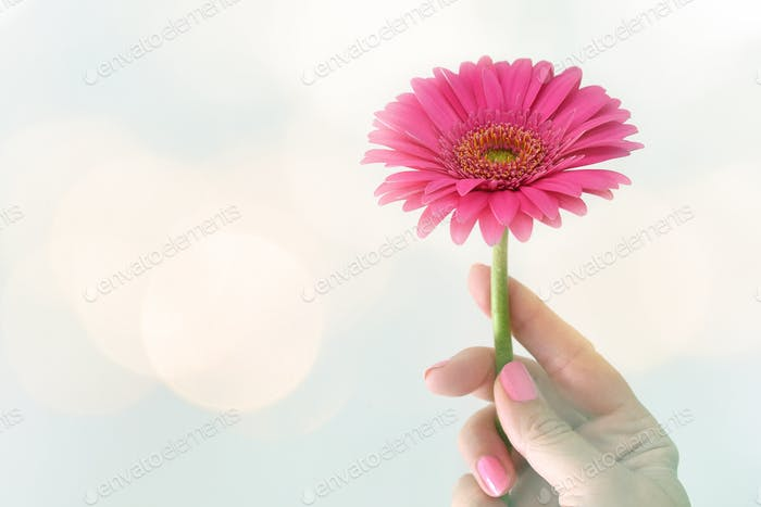 Female holding a pink Gerber daisy with magical dreamy mood lighting, dare to dream pop of color
