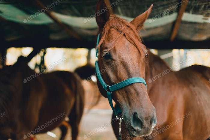 Beautiful chestnut horse stands in the stable