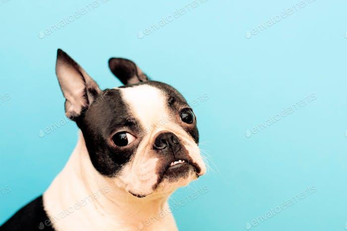 Porträt einer Hunderasse Boston Terrier mit einem aufmerksamen intelligenten Blick auf einem blauen Hintergrund. Kopie