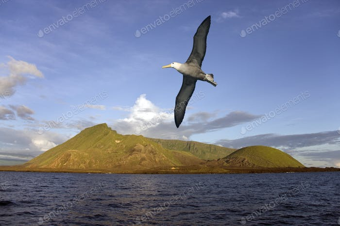 Black-browed Albatross flying near the Ecuador Volcano on Isabella Island in the Galapagos Islands