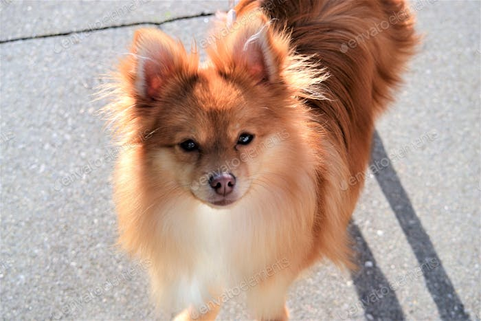 ¡  Linda mascota!! Pomerania